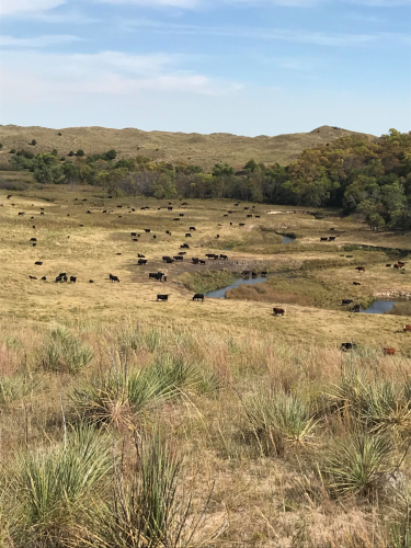 Cattle on River